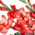 gladiolus_red_flowers_buds_27549_2560x1024